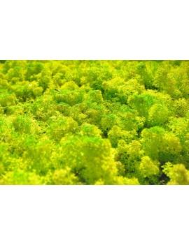 Mousse (vert citron) 250gr